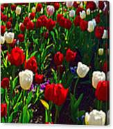 Red And White Tulip Art Canvas Print
