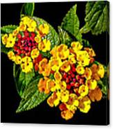 Red And Yellow Lantana Flowers With Green Leaves Canvas Print