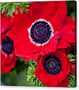 Red Anemone. Flowers Of Holland Canvas Print