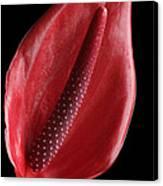 Red Anthurium #3 Canvas Print