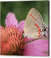 Red Banded Hairstreak Canvas Print