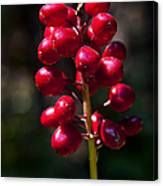 Red Baneberry   #8986 Canvas Print