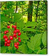 Red Baneberry Along Rivier Du Nord Trail In The Laurentians-qc Canvas Print