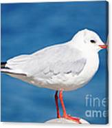 Red-beaked Seagull Resting On The Port Canvas Print