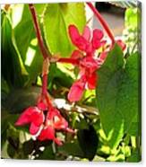 Red Begonia Peaking Through The Leaves Canvas Print