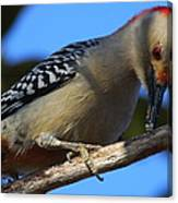 Red-bellied Woodpecker Catching Grub Canvas Print