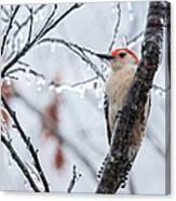 Red Bellied Woodpecker In Winter Canvas Print