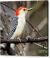 Red-bellied Woodpecker Canvas Print