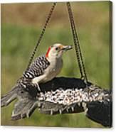 Red Bellied Woodpecker - Melanerpes Carolinus Canvas Print