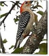 'red-bellied Woodpecker' Melanerpes Carolinus  Canvas Print