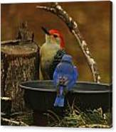 Red- Bellied Woodpecker Canvas Print