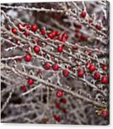 Red Berries Covered In Snow Canvas Print
