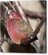 Red Billed Firefinch Canvas Print