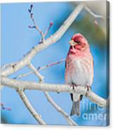 Red Bird Blue Sky Warm Sun Canvas Print