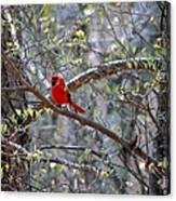 Red Bird In Dogwood Canvas Print