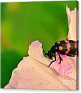 Red Blister Beetle Canvas Print
