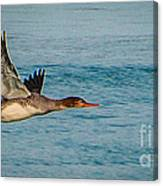 Red Breasted Merganser In Flight Canvas Print