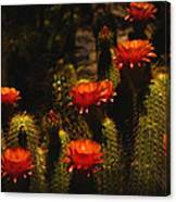 Red Cactus Flowers  Canvas Print