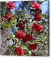 Red Camellias And Blue Sky Canvas Print