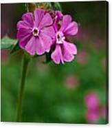 Red Campion Canvas Print