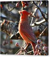 Red Cardinal Pose Canvas Print