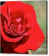 Red Carpet Rose Canvas Print