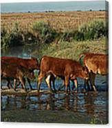 Red Cattle Canvas Print