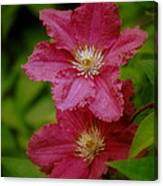Red Clematis Flowers Canvas Print