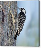 Red-cockaded Woodpecker Canvas Print