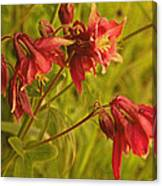 Red Columbine Canvas Print