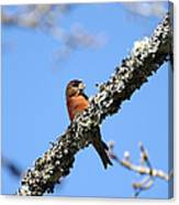 Red Crossbill Finch Canvas Print