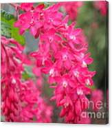 Red-flowering Currant Blossom Canvas Print
