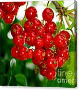 Red Currants Ribes Rubrum Canvas Print