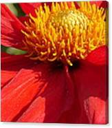 Red Dahlia Coccinea Canvas Print