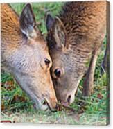 Red Deer  Cervus Elaphus  Head To Head Canvas Print