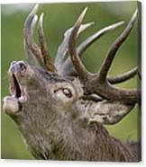 Red Deer Cervus Elaphus Stag Bugling Canvas Print