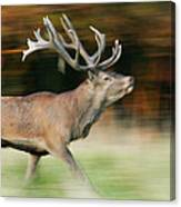 Red Deer Cervus Elaphus Stag Running Canvas Print
