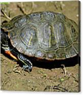 Red Ear Slider Canvas Print