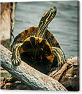 Red Eared Slider Turtle Canvas Print