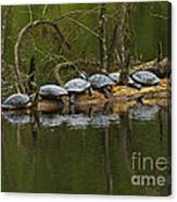 Red-eared Slider Turtles Canvas Print