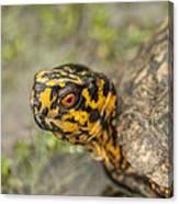 Red Eyed Alabama Box Turtle - Terrapene Carolina Canvas Print