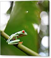 Red Eyed Tree Frog, Agalychnis Canvas Print