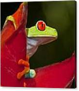 Red Eyed Tree Frog 3 Canvas Print
