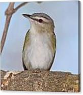 Red-eyed Vireo Canvas Print