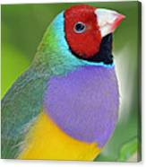 Red Faced Gouldian Finch Canvas Print