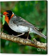 Red-faced Warbler With Caterpillar Canvas Print