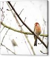 Red Finch In Snow Canvas Print