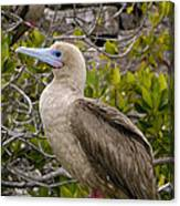 Red-footed Booby Galapagos Islands Canvas Print