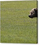 Red Fox  And Grizzly Bear Canvas Print
