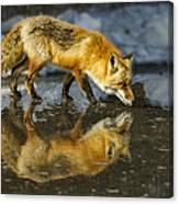 Red Fox Has A Drink Canvas Print